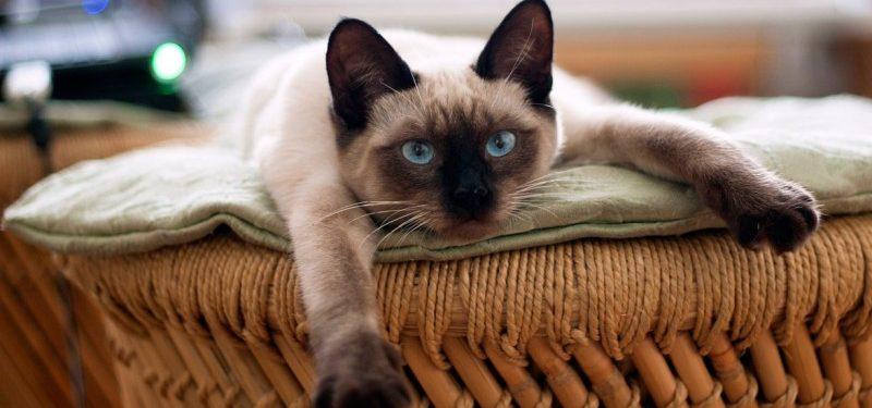 Gato Siames o Thai