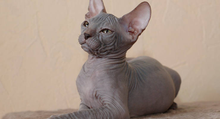 Gatos sin pelos