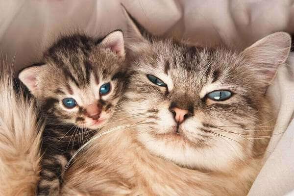 Gestacion de las gatas