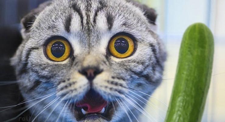 Porque los gatos temen a los pepinos