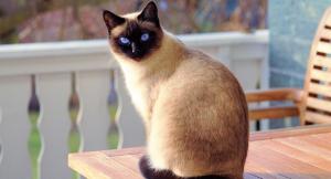 Gato Raza Siames