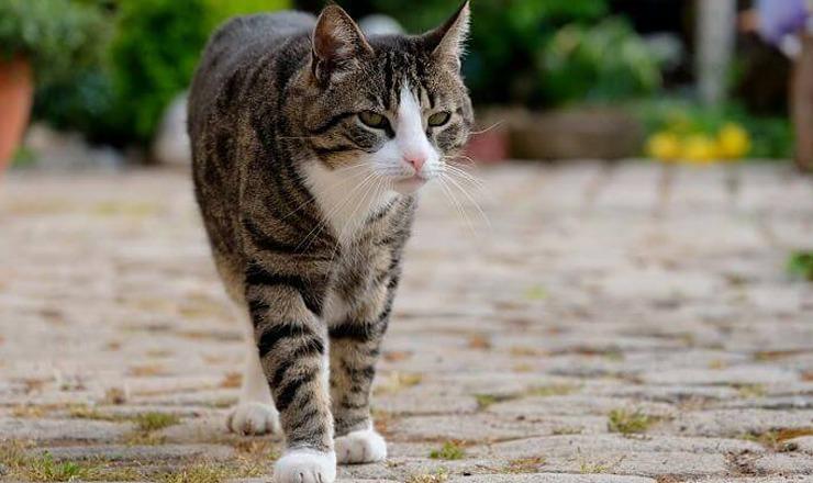 Gatos domesticos