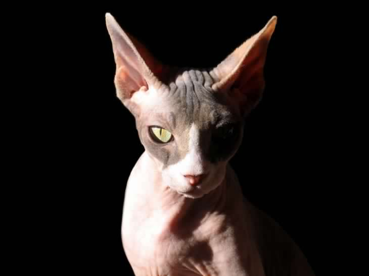 gato esfinge popular en chile