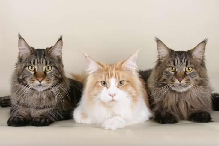 maine coon el gato super popular