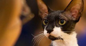 Razas de gatos en Chile